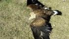 Le aquile reali avevano una apertura alare superiore ai 2 metri - Foto FB @ArcheoAmbiente