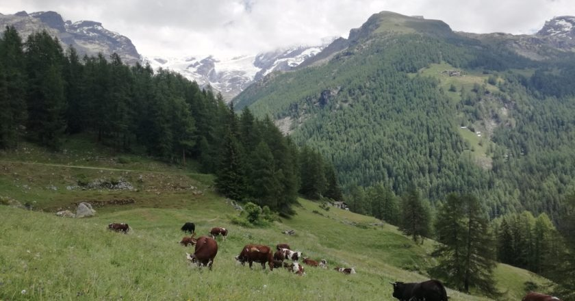 Austria, codice comportamentale, mucche, trekking, pericolo, sicurezza