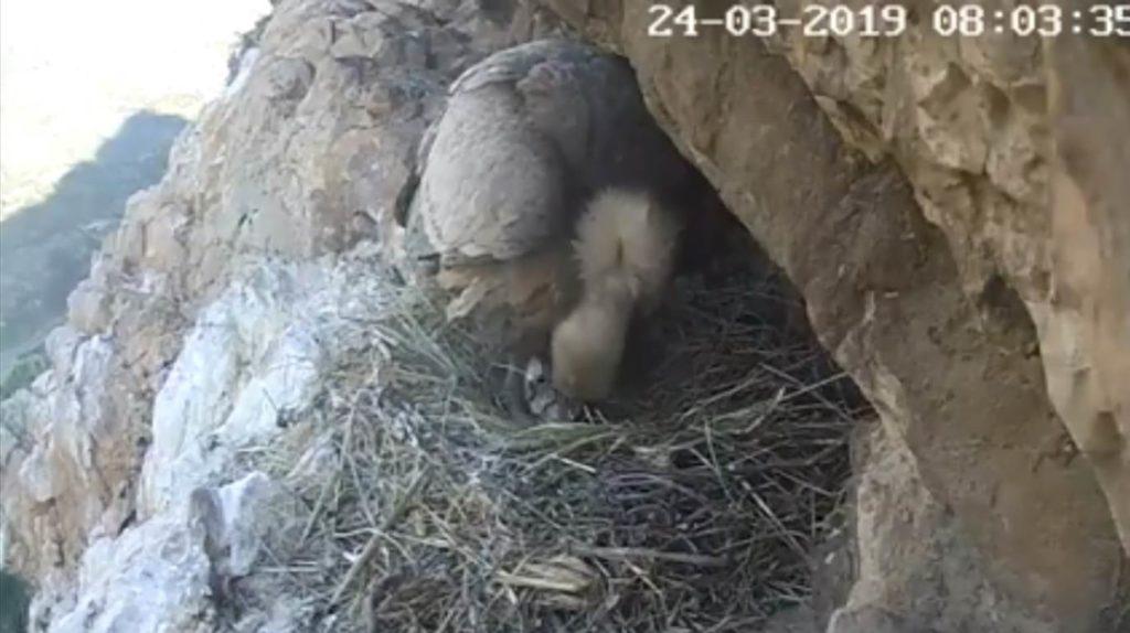 Parco Nebrodi, Sicilia, grifone, rapaci, webcam