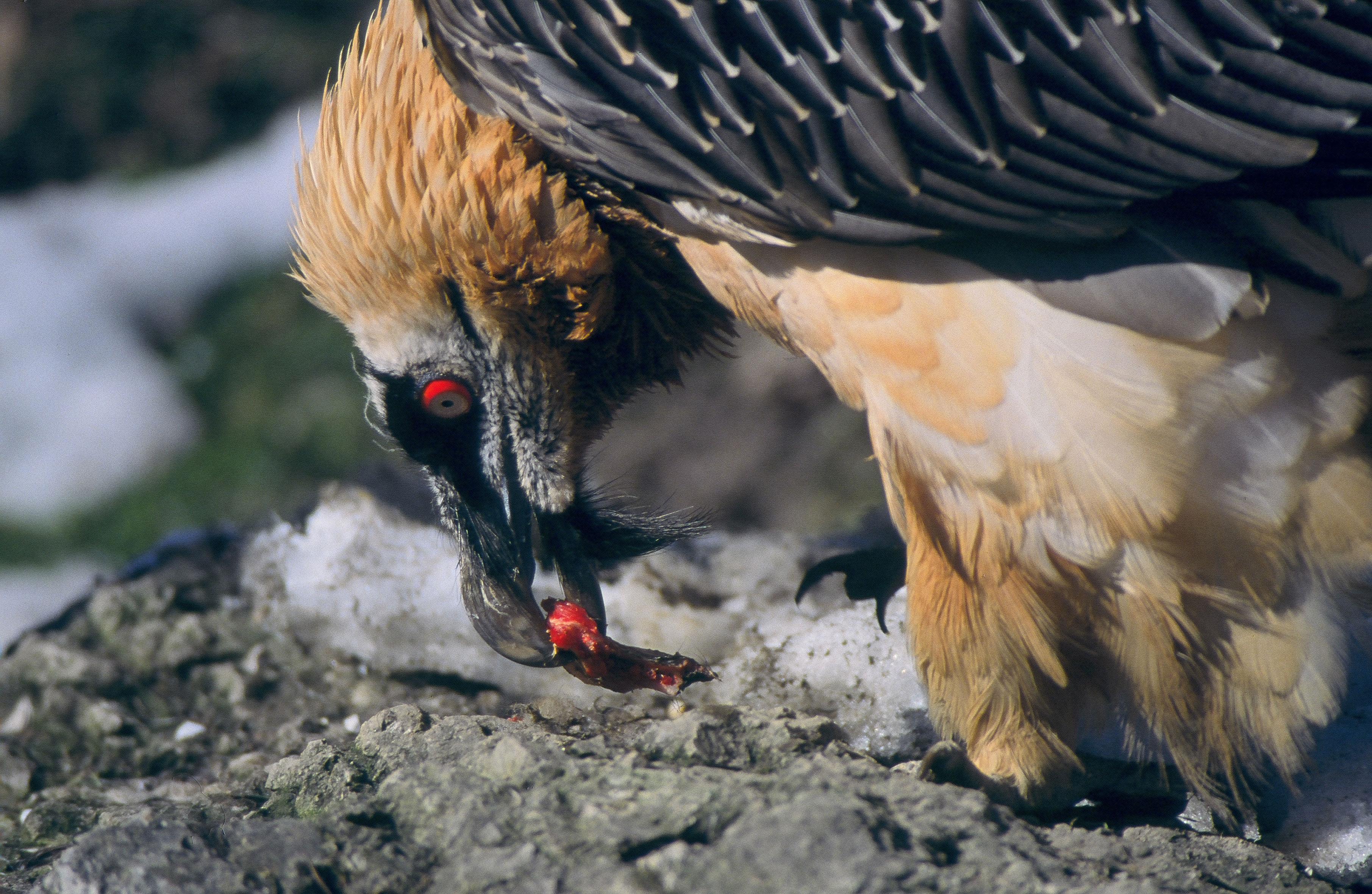 Photo of Parco Nazionale Gran Paradiso. Webcam rivela in diretta la nascita di un gipeto
