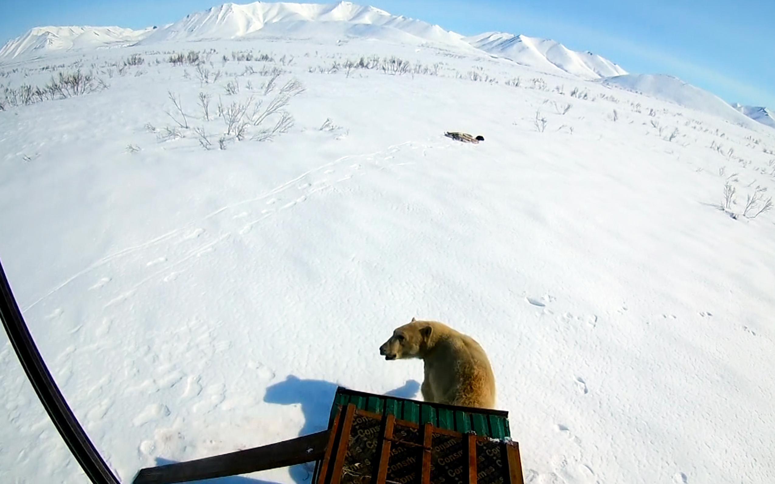 Photo of Un orso polare avvistato a 700 km dall'Artico russo. La Protezione civile lo riporta a casa