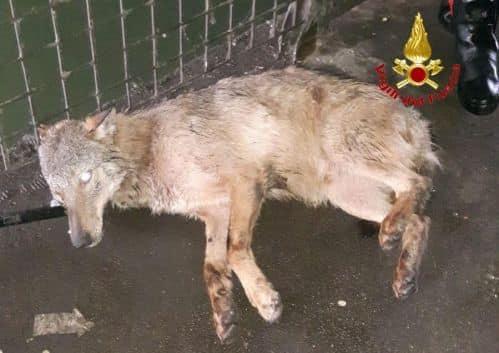 """Photo of Un lupo salvato dalle acque dei Navigli di Milano. WWF Lombardia """"La natura in città è possibile"""""""