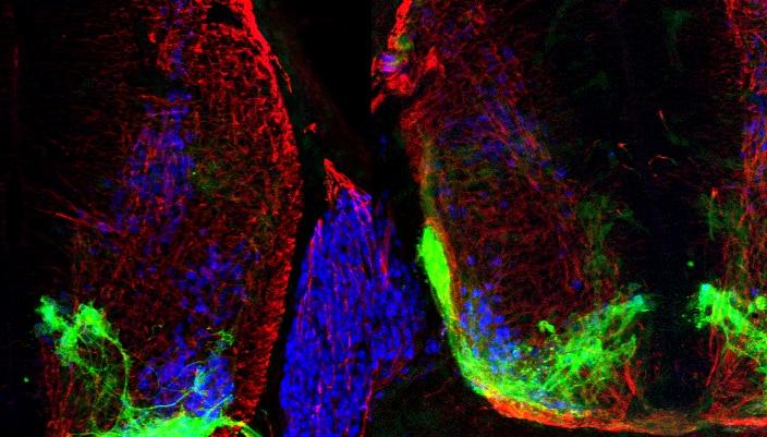 """Photo of Il gene """"esploratore"""" che guida i neuroni verso la giusta destinazione prende il nome di Cassin"""