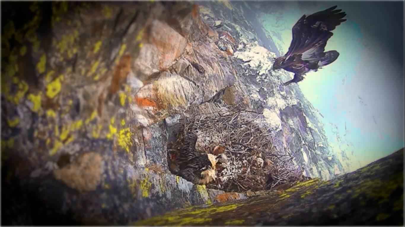 Photo of Nido dei gipeti in Valsavarenche. Il più piccolo dei nati muore a causa del maltempo