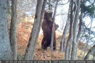 Parco Adamello Brenta, Dolomiti, orso, paolo togni, fototrappola