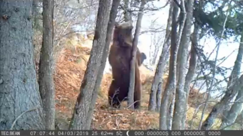 """Photo of Dolomiti di Brenta. Dopo l'uscita dal letargo il """"Signore dei boschi"""" si gratta la schiena"""