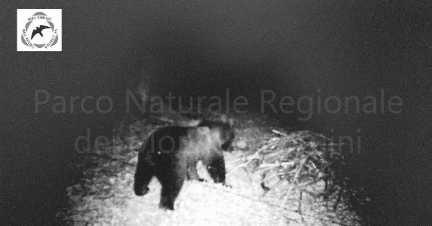 parco monti simbruini, orso marsicano, monitoraggio, videotrappola, estinzione