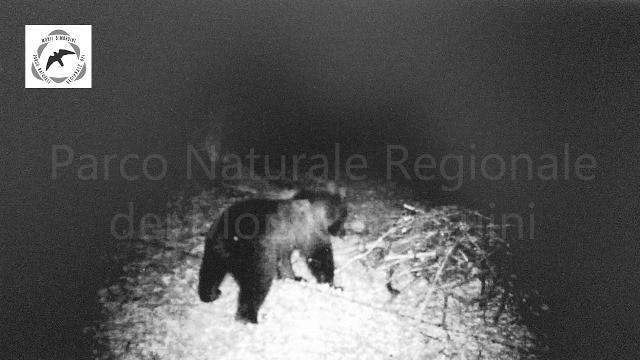 Photo of Parco dei Monti Simbruini. Una videotrappola immortala per la prima volta un orso marsicano