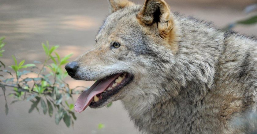 lupo, val di fassa, sergio costa, abbattimento, ministero dell'ambiente, sicurezza