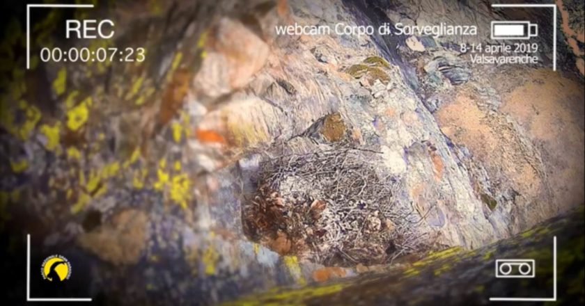 valsavarenche, parco nazionale gran paradiso, gipeto, fauna, webcam. avrì