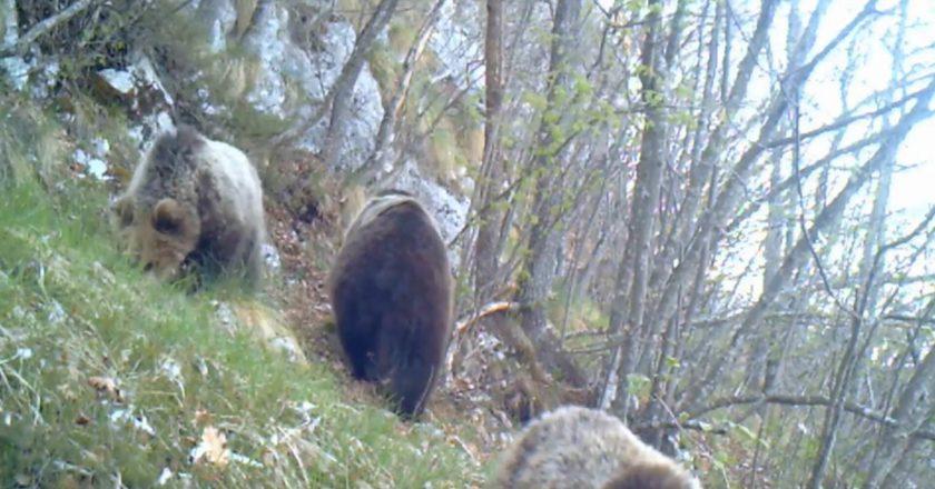 orsa, cuccioli,parco naturale adamello brenta, fototrappola, paolo togni, natura