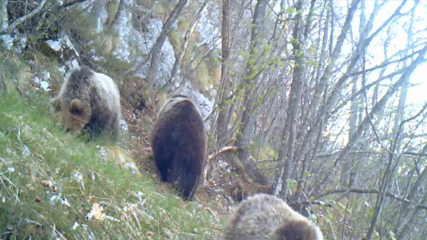 Photo of Mamma orsa e i suoi cuccioli. Le splendide immagini della fototrappola nel Parco Naturale Adamello Brenta