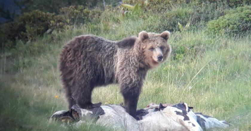 orso, trentino
