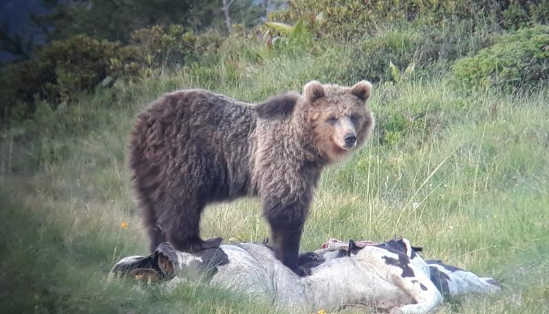 Photo of Troppi danni, la Provincia di Trento chiede la cattura dell'orso M49