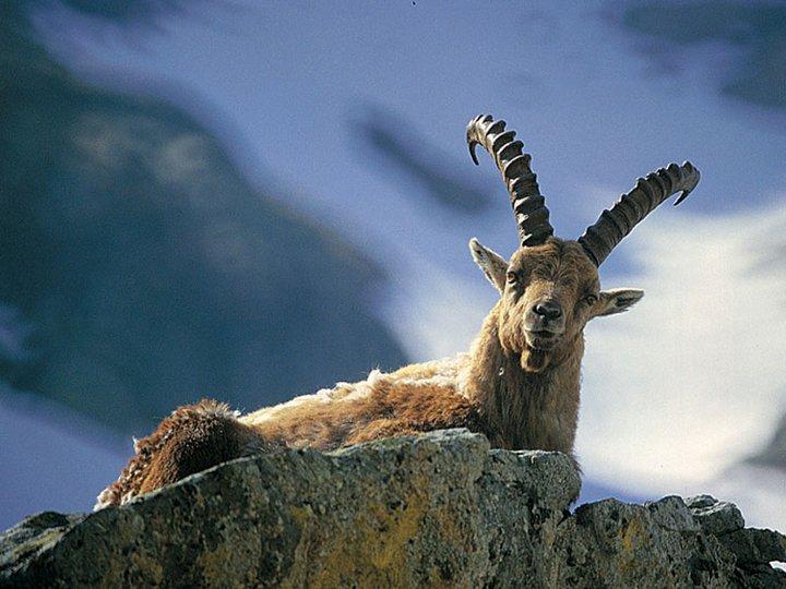 Photo of #Beccalostambecco. I parchi delle Alpi Marittime e del Mercantour chiedono aiuto per fotografare gli stambecchi