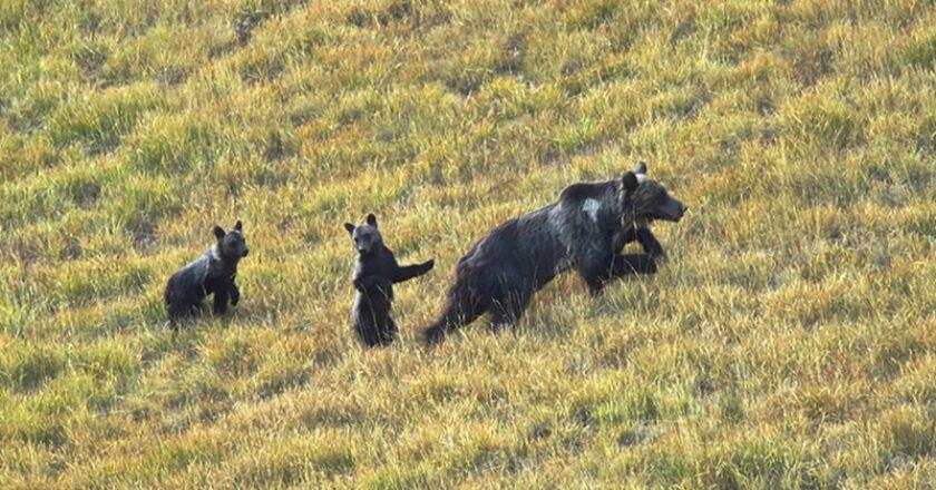 orso marsicano, cuccioli, video, pnalm