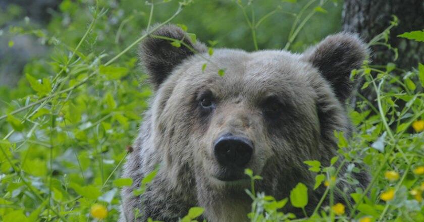 orso marsicano, parco nazionale abruzzo, orso