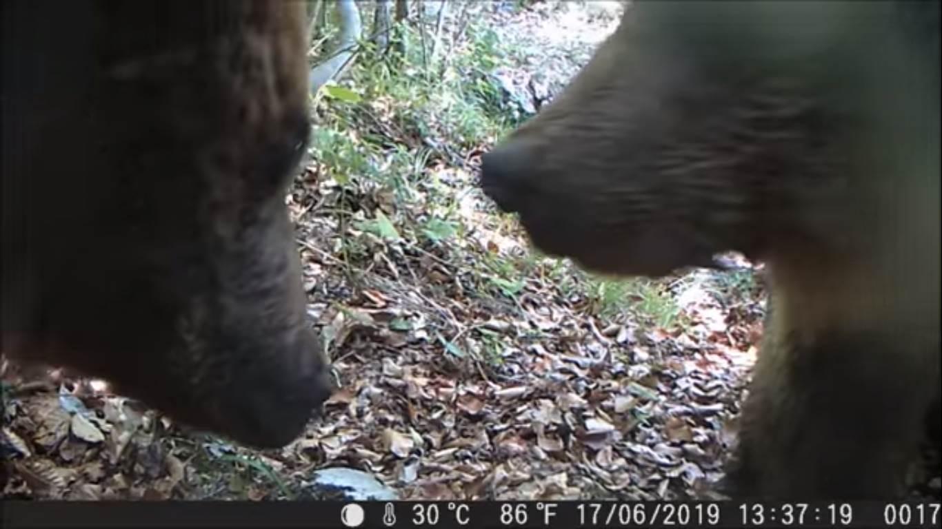 Photo of Anche agli orsi piacciono i selfie. Un simpatico video dal Parco Naturale Adamello Brenta