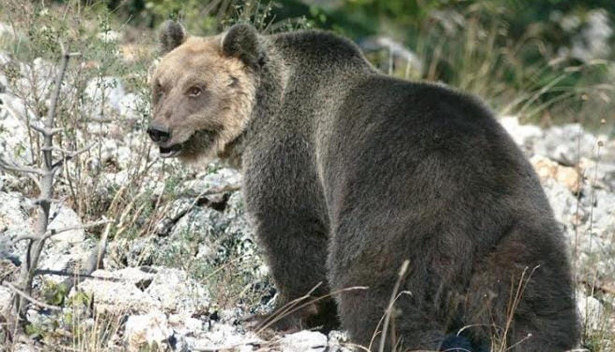 Photo of Cattura dell'orso M49. Scontro aperto tra il Ministro dell'Ambiente e Provincia di Trento