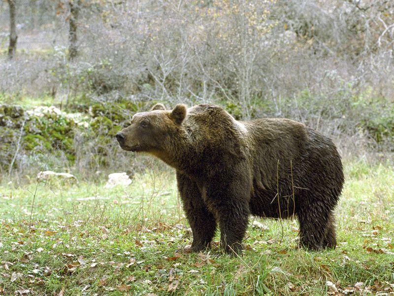 orso marsicano, parco nazionale d'abruzzo lazio e molise, pnalm