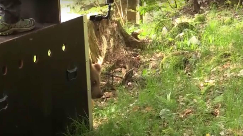 Photo of Trentino. Il cucciolo di orso denutrito torna in libertà dopo la riabilitazione
