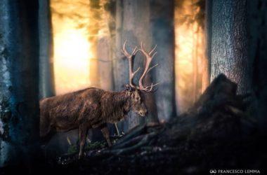 censimento, cervo, bramito