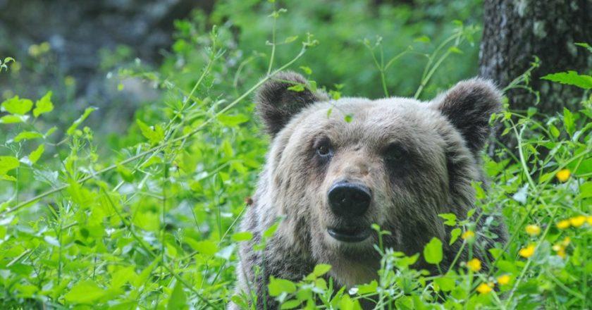 pnalm, orso marsicano, mamma orsa