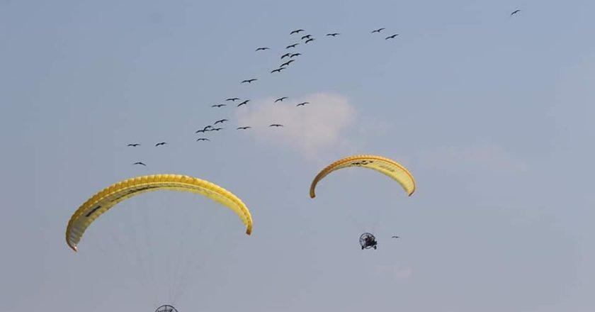 ibis eremita, migrazione guidata
