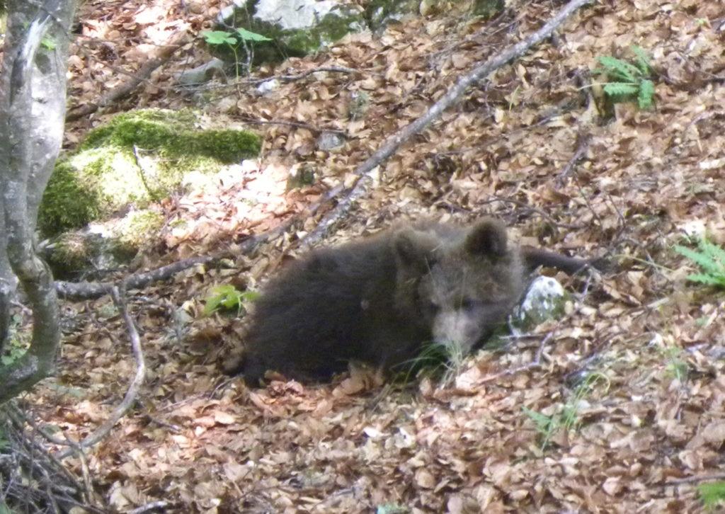 Un cucciolo di orso in Trentino
