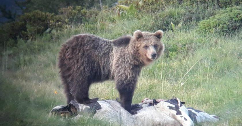 L'orso M49