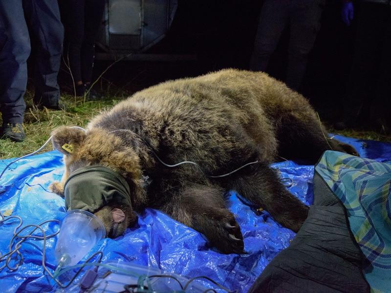 Photo of PNALM. L'orsa Barbara a supporto del programma di salvaguardia dell'orso marsicano