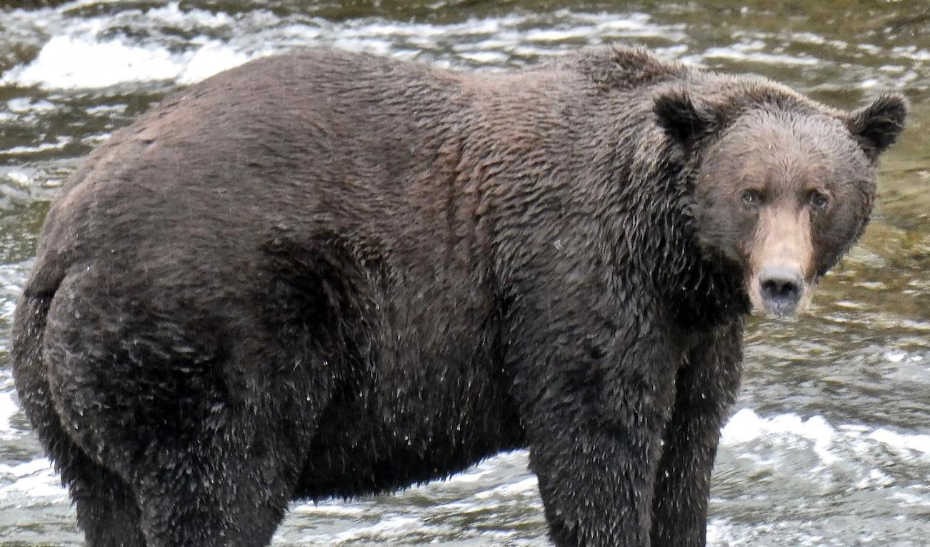 Photo of Al Katmai Nation Park & Preserve torna il concorso per votare l'orso più grasso 2019