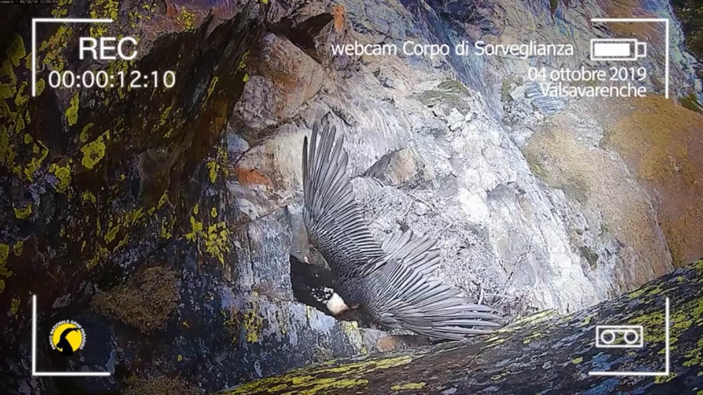 Photo of Il gipeto Avrì fa visita ai genitori prima dell'addio al nido familiare