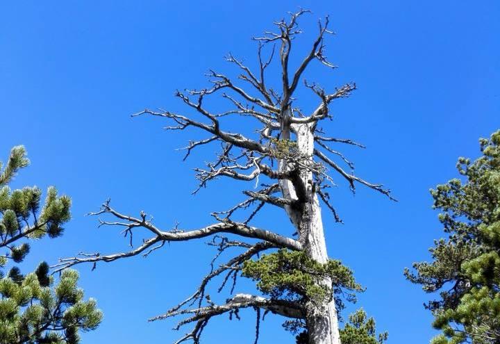 Photo of Italus. L'albero più antico d'Europa ha 1.230 anni e vive sul Pollino
