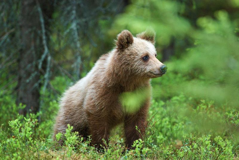 Photo of Italia e Grecia unite in un progetto LIFE a sostegno dell'orso bruno