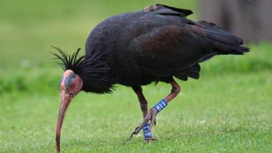 Photo of Trentino. Aumentano gli avvistamenti di ibis eremita