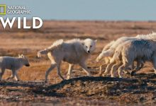 Photo of Alla scoperta del lupo su National Geographic Wild
