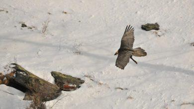 Photo of Parco del Gran Paradiso. Istituita una zona a tutela della nidificazione del gipeto