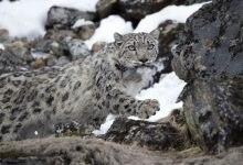 Photo of Dolpo. I leopardi delle nevi saranno monitorati via satellite