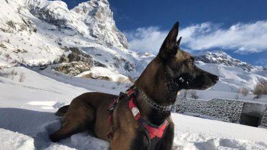 Photo of L'incredibile storia di Malice, il cane soccorritore sopravvissuto 16 giorni tra i ghiacci del Cervino