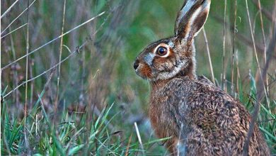Photo of Lepre italica nel Parco d'Abruzzo, Lazio e Molise, ma la specie resta a rischio