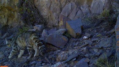 Photo of Gatto delle Ande avvistato dopo 12 anni