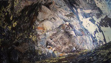 Photo of I genitori del gipeto Avrì tornano a nidificare in Valsavarenche