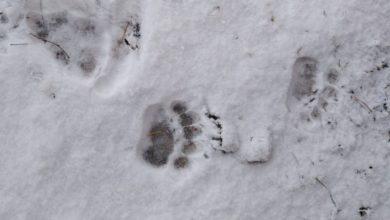 Photo of L'orso M49 è uscito dal letargo. Ha le ore contate?