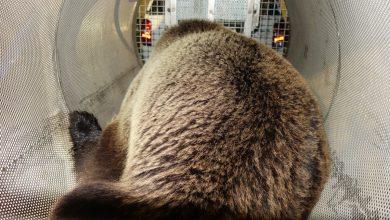 Photo of L'orso M49 è stato catturato. Dopo 9 mesi e oltre 1000 chilometri, finisce la fuga di un animale controverso