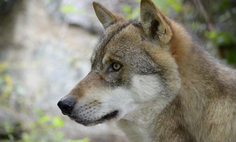 lupo, bracconaggio
