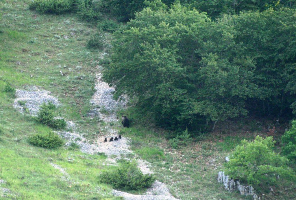 orso marsicano, orsa, pnalm