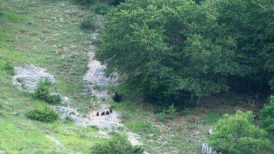 Photo of PNALM. Mamma orsa educa i 4 cuccioli senza lesinare sui rimproveri