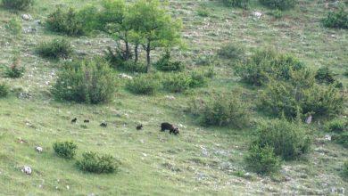 Photo of Parco di Abruzzo, Lazio e Molise: l'eccezionale avvistamento di mamma orsa con 4 cuccioli