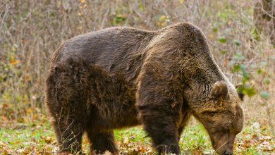 Photo of PNALM. Prime immagini degli orsi marsicani nella stagione degli amori